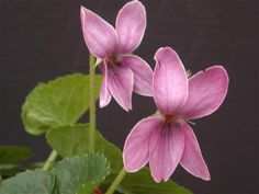 Ellie Violet.  Named after Clive Groves great niece, this violet has unusual scented dusky pink flowers with narrow white petal edging. Moderately vigorous, mound forming. Introduced the 8th international violet congress Beja Portugal. £3.50