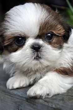 Shih Tzu Puppy - so cute! Oh my goodness how cute is he?