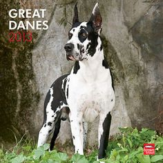 """Great Danes Wall Calendar: The Great Dane, the """"Apollo of Dogs"""", is physically… Great Dane Funny, Great Dane Dogs, I Love Dogs, Harlequin Great Danes, Brown Trout, Lap Dogs, Gentle Giant, Four Legged, Beautiful Dogs"""