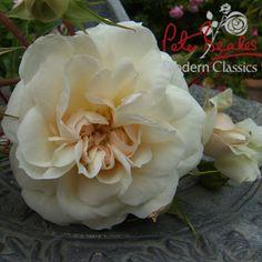 White Jubilee Rose