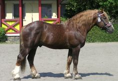 Czech-Moravian Draft Horse. Developed by Czech breeders by crossing Belgian Drafts with native draft horses.