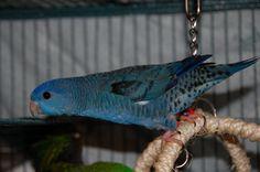 Barred Parakeet (Bolborhynchus lineola) or Lineolated Parrakeet