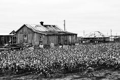 Cotton Fields Near Clarksdale, Mississippi (A0012542)