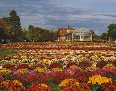 Plan a visit to the Paschke Mum Farm in North East, Pa., to enjoy the beautiful fall florals! A family-run farm since 1932, Paschke's is located right off the freeway with a view of nearby Lake Erie and consists of nearly 10 acres of multicolored fields of chrysanthemums. Between 50,000 and 60,000 mums plants are grown each year and the fields currently feature approximately 150 different mum varieties in a rainbow of colors. #FallinPA