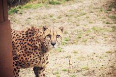 A la rencontre des félins avec Nat Geo WILD http://www.happycity-blog.com/2015/02/a-la-rencontre-des-felins-avec-nat-geo-wild.html