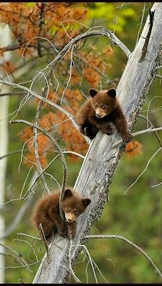 Two Little Cubs Keeping Safe Up a Tree!