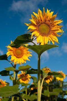 Sunflower heaven, North Dakota - truly sunflower capital of the world. Beautiful!
