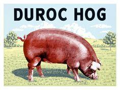 Duroc Hog