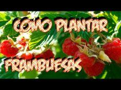Como Plantar Frambuesas || La Huertina De Toni - YouTube
