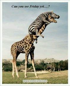 Thursday giraffe friday coming