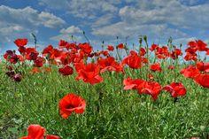 poppies-793734_1280.jpg (1280×853)