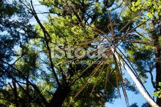 A native small tree of New Zealand, Lancewood . It is a unique tree. Unique Trees, Small Trees, Photo Tree, Native Plants, Image Now, Lakes, New Zealand, Coastal, Flora