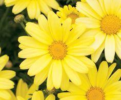 Daisy in flower tat