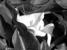 Fleur du jour Arum