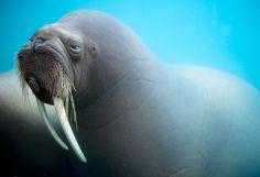 ...he is the walrus...
