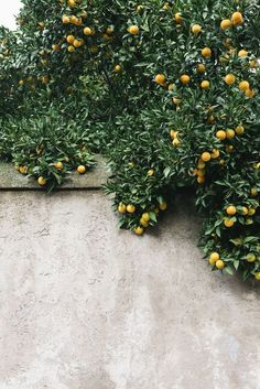 Lemon tree | Image via Nicole Franzen Photography
