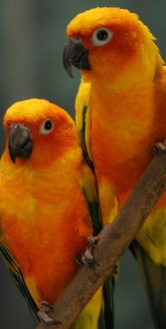 Colorful Parrots, Colorful Birds, Rare Birds, Exotic Birds, Pretty Birds, Beautiful Birds, Amazon Birds, Bird Barn, Barn Owls