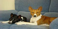 ¿Quieres un perro pero vives en un edificio de departamentos, y tus vecinos no quieren ladridos molestos? Dos opciones: Te mudas a una casa o consigues un perro que no ladra. ¿Conoces el Perro que no ladra? Te presentamos a esta peculiar raza canina que no emite ladridos. Disfruta del afecto, compañía y alegría de este bello perro que no ladra. Clic Aquí>>> http://sobreperrosygatos.com/perro-basenji/