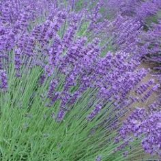 lavender | plant around the garden to KEEP THE CATS AWAY. This would help to keep the male spray from the garden too... being the fall guy to catch the spray before it can hit the veggies!