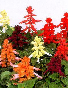 The many shades of Salvia splendens