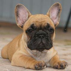 Availa-Bull Puppies