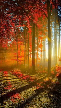 !!TAP AND GET THE FREE APP! Nature Shining Autumn Fall Sun Forest Red Beautiful Trees HD iPhone 5 Wallpaper