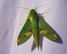 Papillon géométridae | Xylophanes chiron nechus , Sphingidae