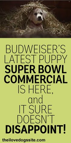 Doberman chihuahua mix super bowl commercial