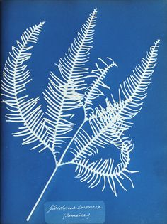 Beautiful in its simplicity, this new blue Anna Atkins print of silhouetted plant life is one to add to your cart. Our gift guide: http://20x200.com/pages/gift-guide-2015