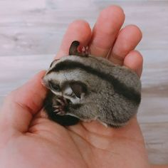 One of Jin's two sugar gliders. Being adorable as ever