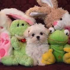 You almost can't find him with a pile stuffed animals. | Monte The Maltese Is The Cutest Puppy You'll Ever Meet