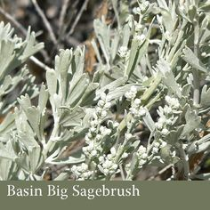 American Wilderness Botanicals - Basin Big Sagebrush, wildcrafted in Wyoming