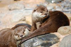 Amblonyx cinerea Aonyx cinerea Oriental Small-clawed Otter