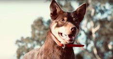 Working Dogs, Dog Pictures, Goats, Pitbulls, Animals, Animales, Pit Bulls, Animaux, Pitbull