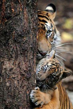 Mama and Baby Tiger Peeking. #BigCatFamily