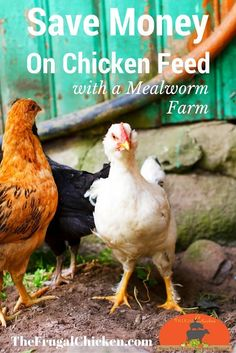 Raising mealworms, red wrigglers, and crickets for chickens will save you a ton of money - and it's not as gross as it seems.