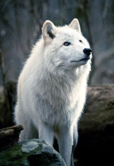 BEAUTIFUL WOLVES !