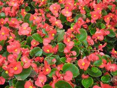 Begonia - Begonya (begoniaceae) http://en.wikipedia.org/wiki/Begonia http://tr.wikipedia.org/wiki/Begonya
