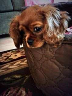 Our Cavalier King Charles Ruby aka Lucy