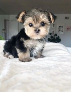 Lhasa Apso Puppies, Morkie Puppies, Pomeranian Puppy, Teacup Maltese For Sale, Micro Teacup Puppies, Ugly Puppies, Ugly Dogs, Super Cute Puppies, Cute Dogs