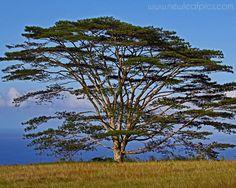 Koa tree in Hawaii