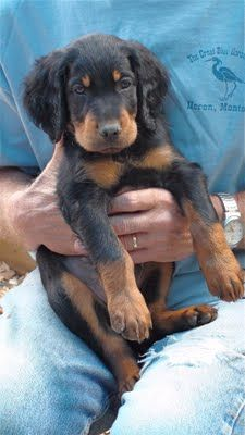 a Gordon Setter puppy for Sam to hunt with Beautiful Dog Breeds, Beautiful Dogs, Really Cute Dogs, I Love Dogs, Cute Puppies, Dogs And Puppies, Adorable Dogs, Pet Dogs, Dog Cat