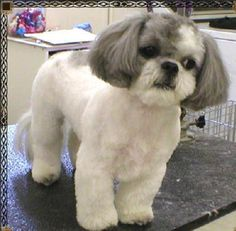 shih tzu haircuts - Google Search