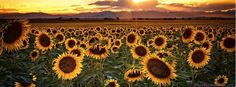 """""""Evenings Of Augusts Past"""" - The sun begins to set over the front range of the Colorado Rocky Mountains as the Sunflowers begin to kiss the day goodbye Fall Cover Photos, Cover Pics For Facebook, Background Facebook Cover, Twitter Cover Photo, Cover Wallpaper, Cover Photo Quotes, Cover Quotes, Facebook Timeline Covers, Landscape Prints"""