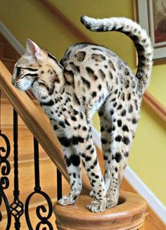 Savannah cat (I would love to adopt one of these into the family)