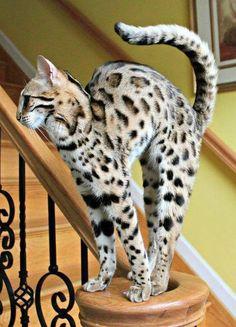 Gato de Bengala.