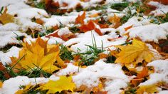 Autumn leaves covered with first snow