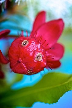 A very unusual flower! by Renee Hubbard Fine Art Photography -looks like a surprised fish! Strange Flowers, Unusual Flowers, Rare Flowers, Flowers Nature, Amazing Flowers, Beautiful Flowers, Weird Plants, Unusual Plants, Rare Plants