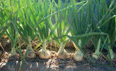 4 совета, чтобы получить большой урожай лука