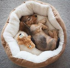 """Awesome """"dachshund pups"""" info is available on our site. Have a look and you wont be sorry you did. Dachshund Funny, Dachshund Puppies, Dachshund Love, Cute Puppies, Pet Dogs, Dog Cat, Pets, Daschund, Doggies"""